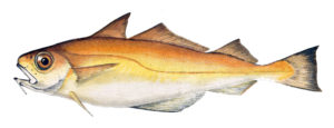 An artist's rendering of poor cod (Trisopterus minutus), one of the fish species studied.