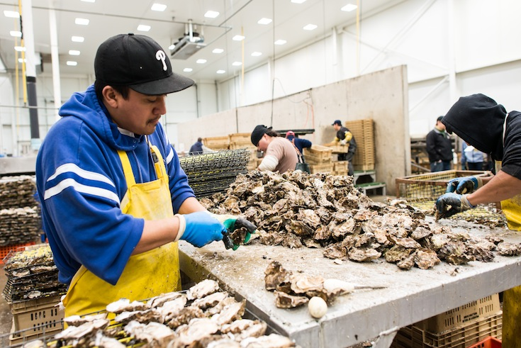 Taylor Shellfish worker shucks oysters