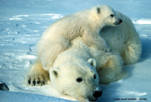 polar_bear_scott_schliebe_usfws_735-credit