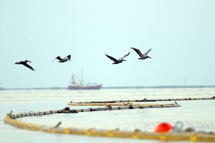 Boom and pelicans in the Gulf of Mexico