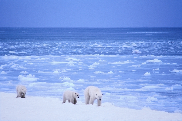 Polar Bear Mother and Cubs near Pack Ice
