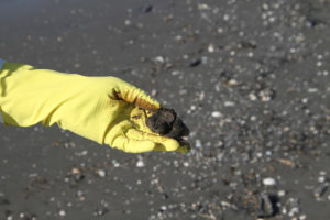 Tar ball in the Gulf of Mexico