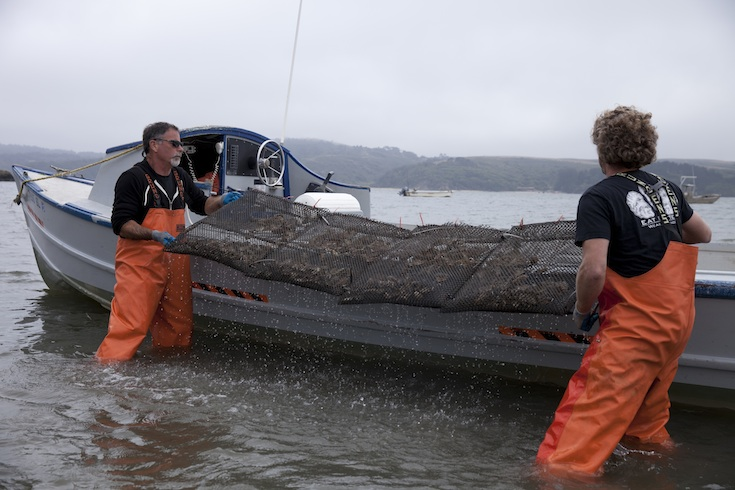 Harvesting oysters at Hog Island Oyster Company in Marshall, California