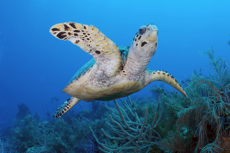sea turtle swimming near Florida