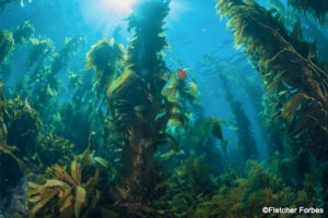 KelpForest_FletcherForbes