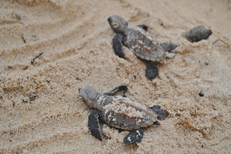 Victory for Baby Sea Turtles Ocean Currents