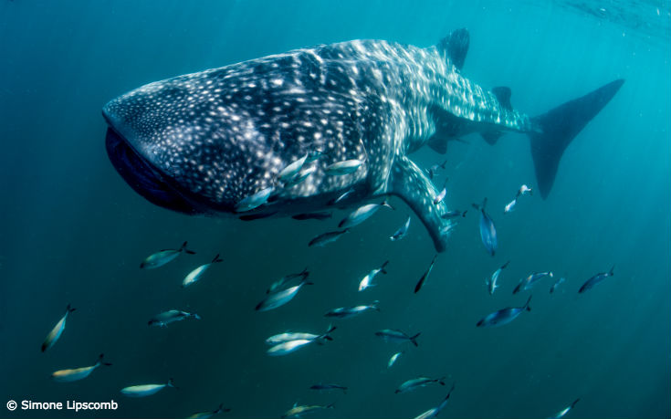 Whale Sharks Move onto the Endangered List